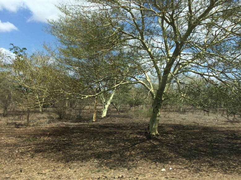 Water hungry fever trees in northern KwaZulu-Natal - Credit Fiona Macleod